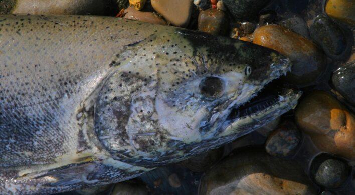 Dead salmon lying on shore